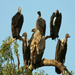 The Vulture Tree