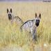 Stripped Hyenas
