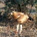 Booted Eagle with Kill