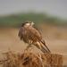 Falcon Immature