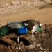 Peafowl Couple