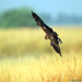 Harrier Scape